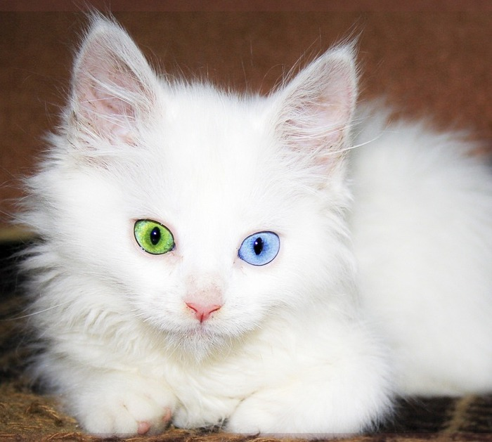кошка/3368205_koshka (700x629, 88Kb)