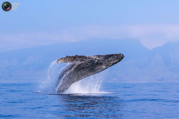 горбатые киты фото 1 (700x465, 248Kb)