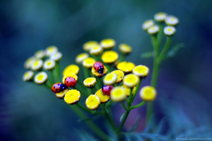 ladybirds_by_lorendil-d57844z (700x465, 86Kb)