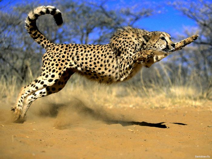 gepard_01 (700x525, 501Kb)