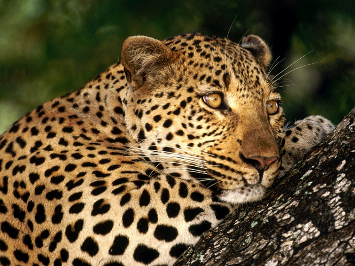 u1204_9276_gepard (700x525, 502Kb)