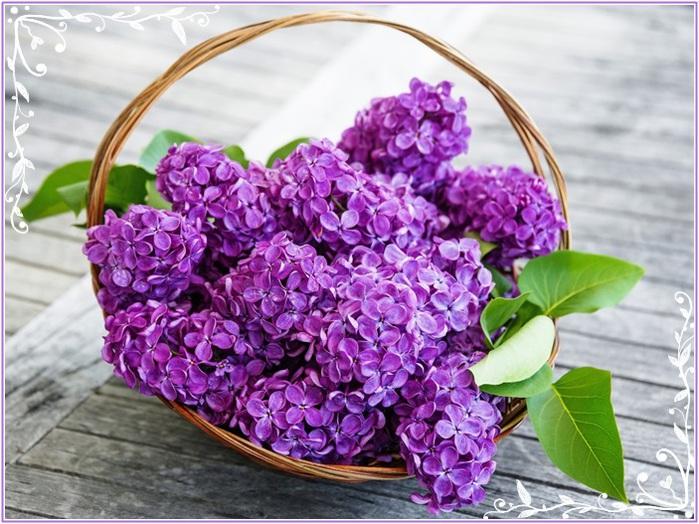 4920201_lilacflowerspurplespring (700x524, 150Kb)