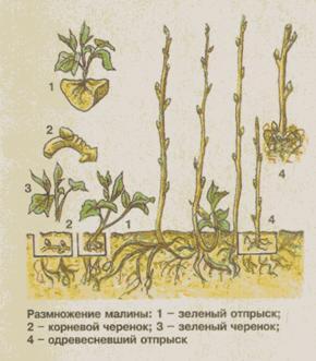 Размножение ремонтантной малины черенками осенью