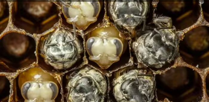 An Extraordinary Glimpse into the First 21 Days of a Bee's Life in 60 Seconds   Colossal (700x343, 414Kb)