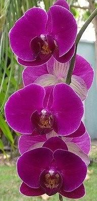 орхидея (192x398, 105Kb)