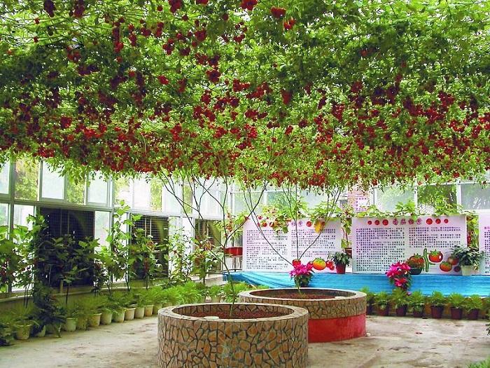 помидорное дерево Спрут F1 2 (700x525, 690Kb)