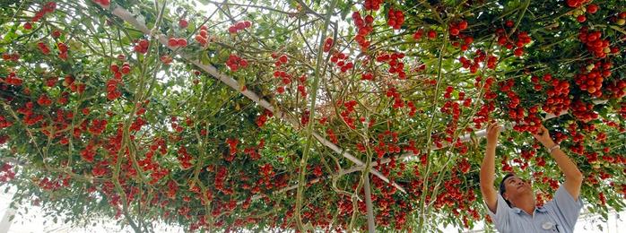 помидорное дерево Спрут F1 7 (700x260, 344Kb)