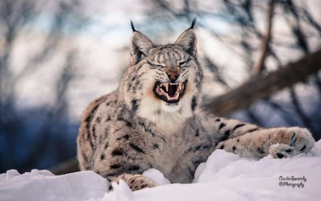 640x400_hischnik-lynx-wildcat-klyiki-dikaya-koshka-predator (640x400, 182Kb)