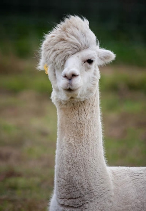 Alpaca-hair-03 (486x700, 152KB)