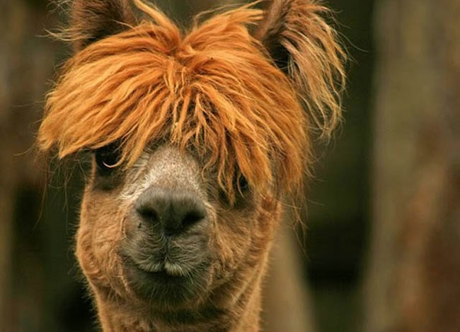 Alpaca-hair-09 (650x469, 124KB)