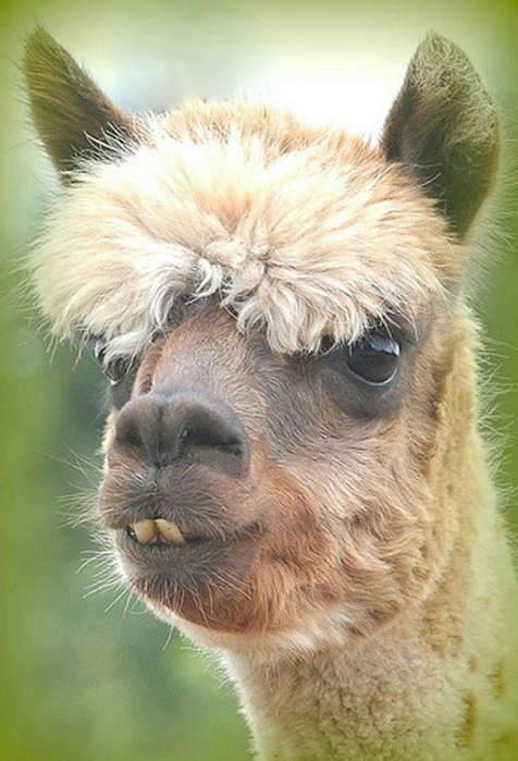 Alpaca-hair-13 (476x700, 225KB)