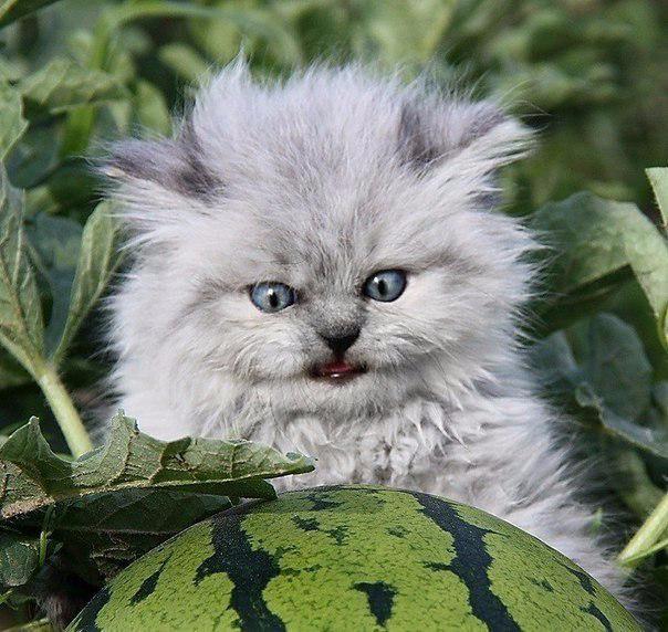 Котенок с арбузом6 (604x572, 309Kb)