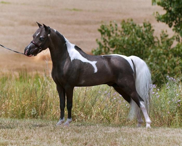 красивая миниатюрная лошадь-2 (700x560, 424Kb)