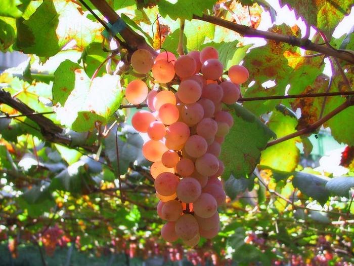 vinograd (700x525, 315Kb)