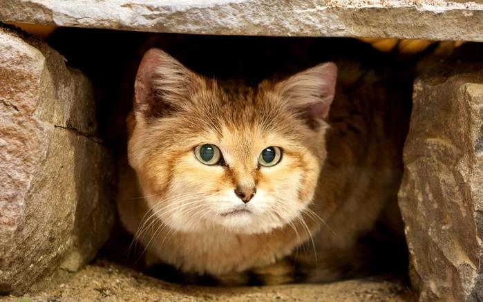 песчаные кошки фото 5 (700x437, 318Kb)