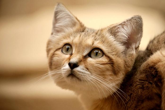 песчаные кошки фото 9 (700x465, 274Kb)
