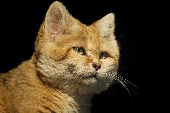 песчаные кошки фото 12 (700x467, 217Kb)