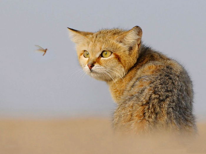 песчаные кошки фото 15 (700x525, 261Kb)