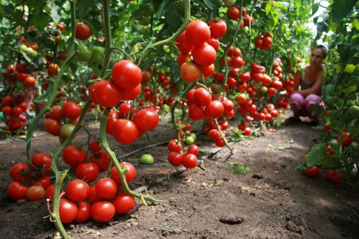 5365358_pomidori (700x466, 295Kb)