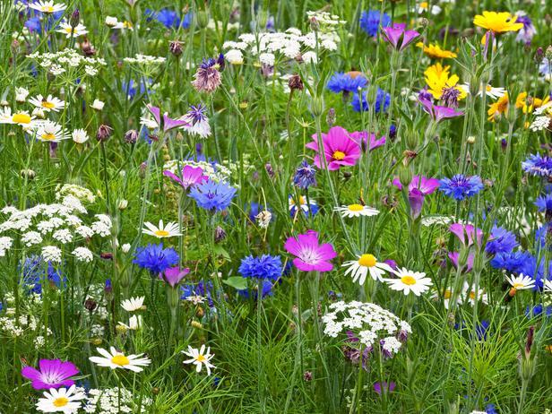 полевые и садовые цветы 3 (616x462, 456Kb)
