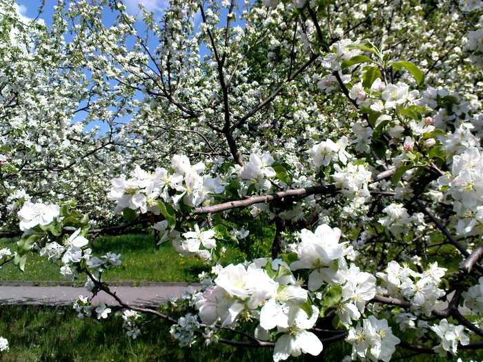 Цветущие_сады (700x525, 711Kb)