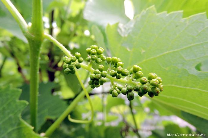 виноград (700x466, 186Kb)