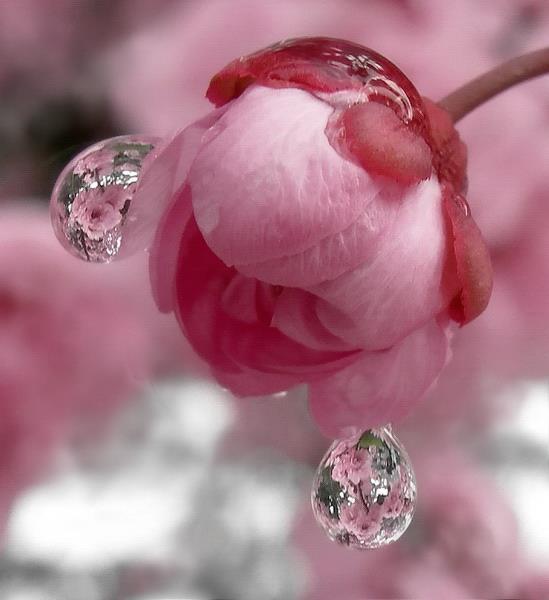 капля на цветке (549x600, 30Kb)