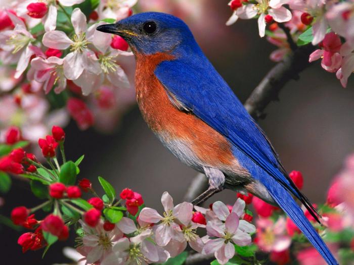 blue_bird_pink_flowers_wallpaper_-_1400x1050 (700x525, 381Kb)