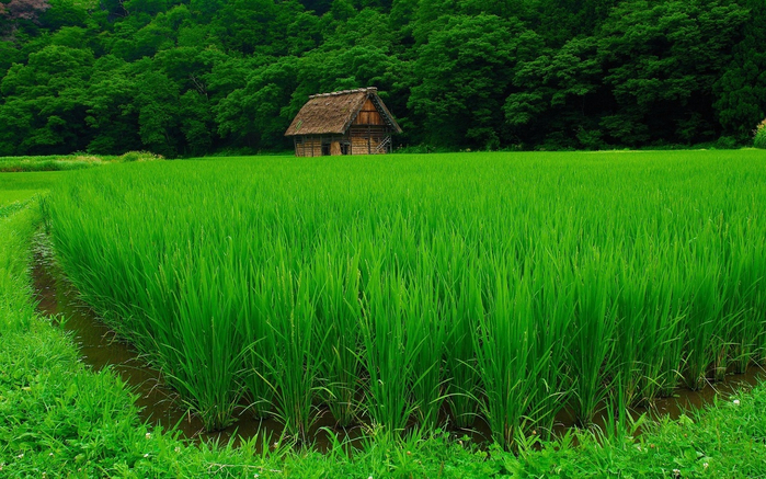 green-Rice-1280x800 (700x437, 483Kb)