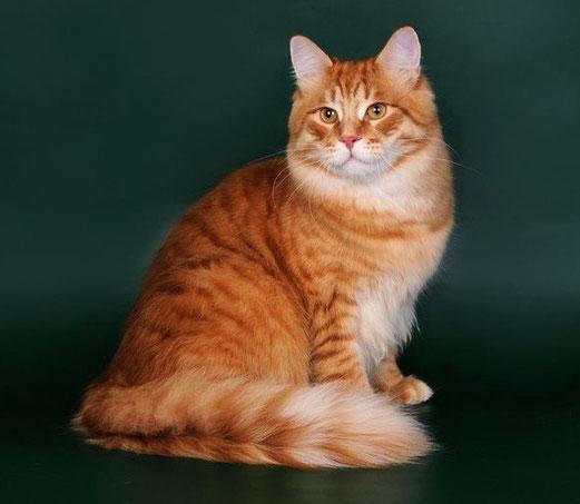сибирская кошка фото окрасов