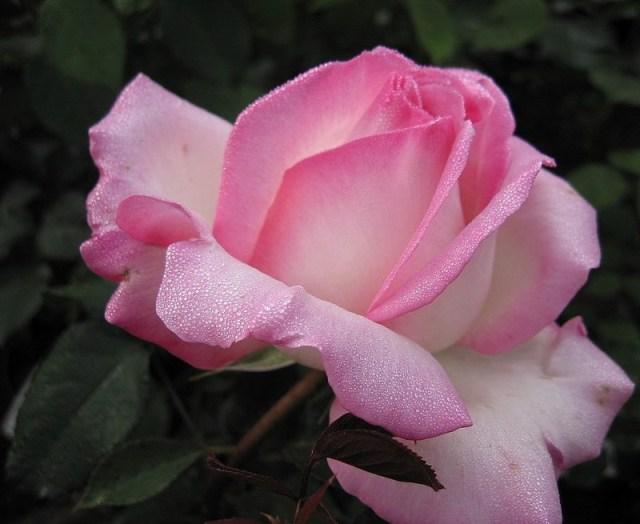roza_Princessa_de_Monako (640x524, 57Kb)