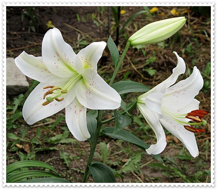 Белая лилия-2 (700x612, 345Kb)