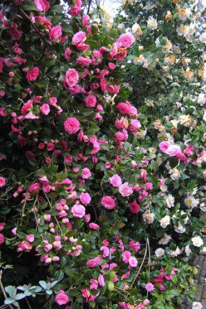 Camellia-Dr-Tinsley-15-30.03.07 (298x448, 47Kb)