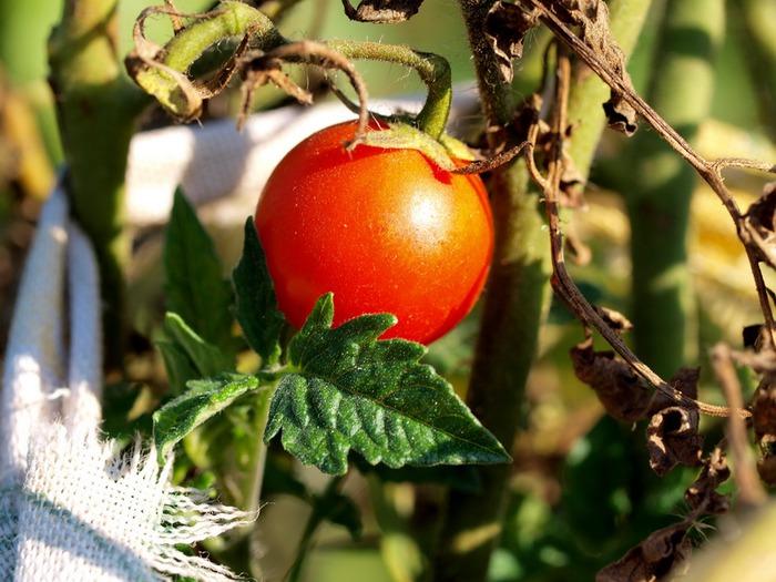 tomato-2 (700x525, 114Kb)