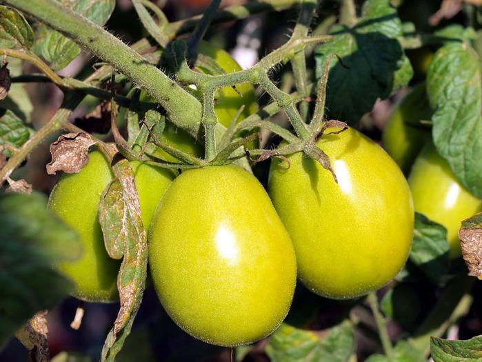 tomatoes (700x525, 117Kb)