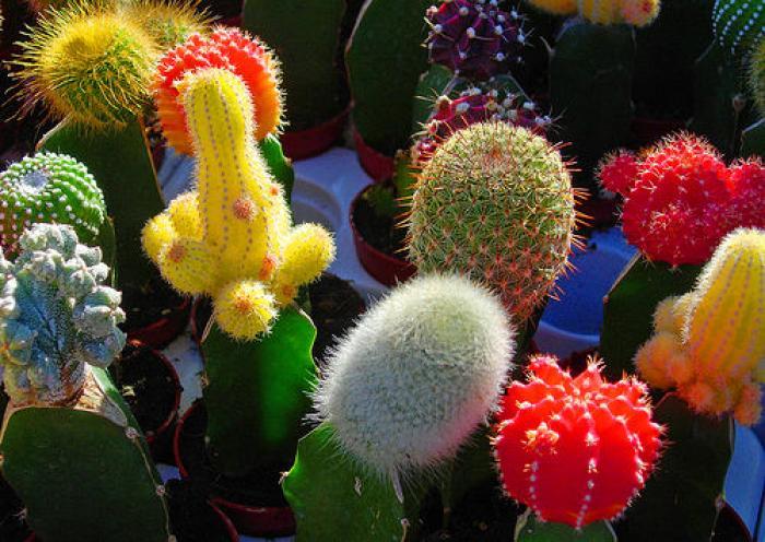 kaktusi (700x496, 73Kb)