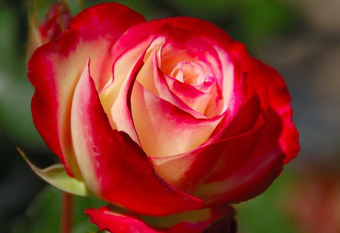 алая роза вечер (700x478, 153Kb)