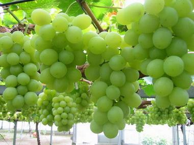 виноград (380x285, 49Kb)