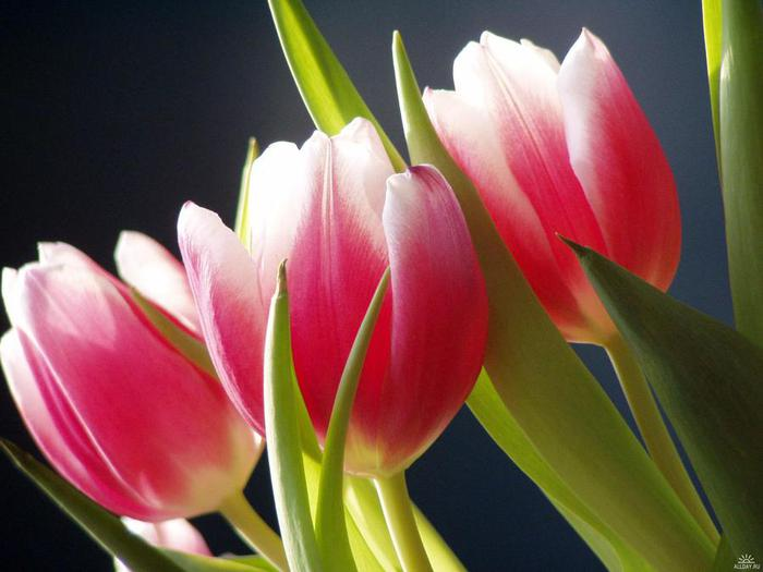 1236119600_tulips-part-4 (700x525, 40Kb)