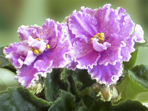 Узамбарская фиалка (сенполия) - замечательной красы растение с бархатными листьями и нежными узорчатыми цветами.