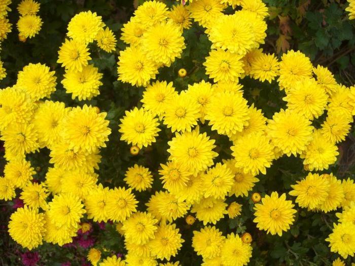 хризантемы (700x525, 139Kb)