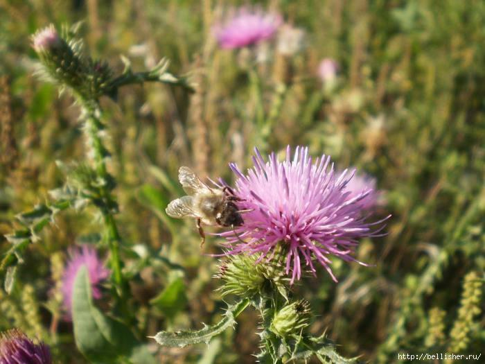 пчёла (700x525, 158Kb)