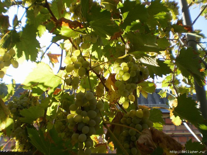солнечный виноград (700x525, 276Kb)