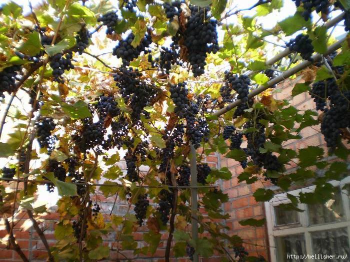 синий виноград (700x525, 268Kb)