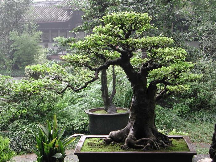 3035399_bonsai_42 (700x525, 214Kb)