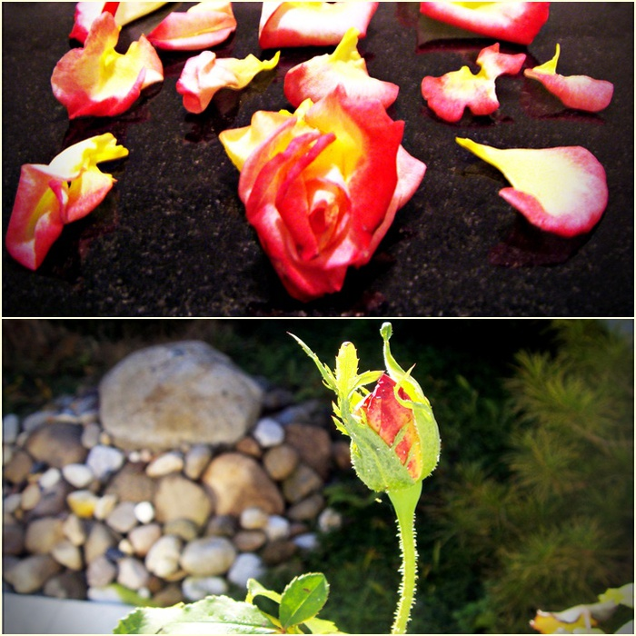 rose (700x700, 180Kb)