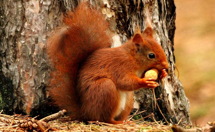 69539124_RedSquirrel1 (699x431, 124Kb)