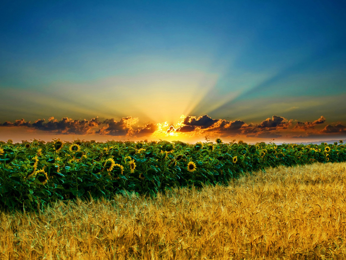 zakat_podsolnuhi_Sunflower_Sunset_1024x768 (700x525, 430Kb)