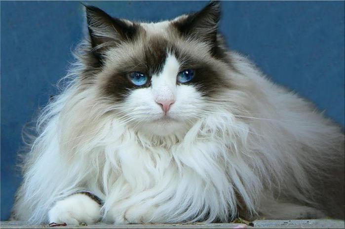Скандинавские коты