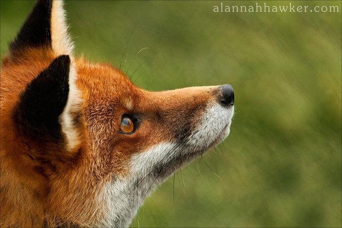 fox_02_by_alannahily-d37igi7 (700x467, 75Kb)
